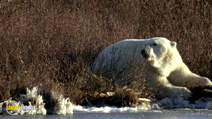 Still #6 from In the Wild: Polar Bears with Ewan Mcgregor