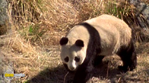 Still #3 from National Geographic: Giant Pandas: The Last Refuge