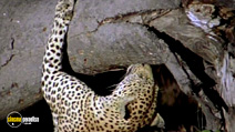 Still #5 from National Geographic: Stalking Leopards
