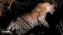 Still #6 from National Geographic: Stalking Leopards