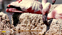 Still #7 from The Crimson Wing: Mystery of the Flamingos