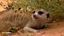 Still #8 from Meerkat Manor: Series 1