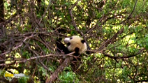 Still #2 from National Geographic: Giant Pandas: The Last Refuge