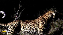 Still #2 from National Geographic: Stalking Leopards